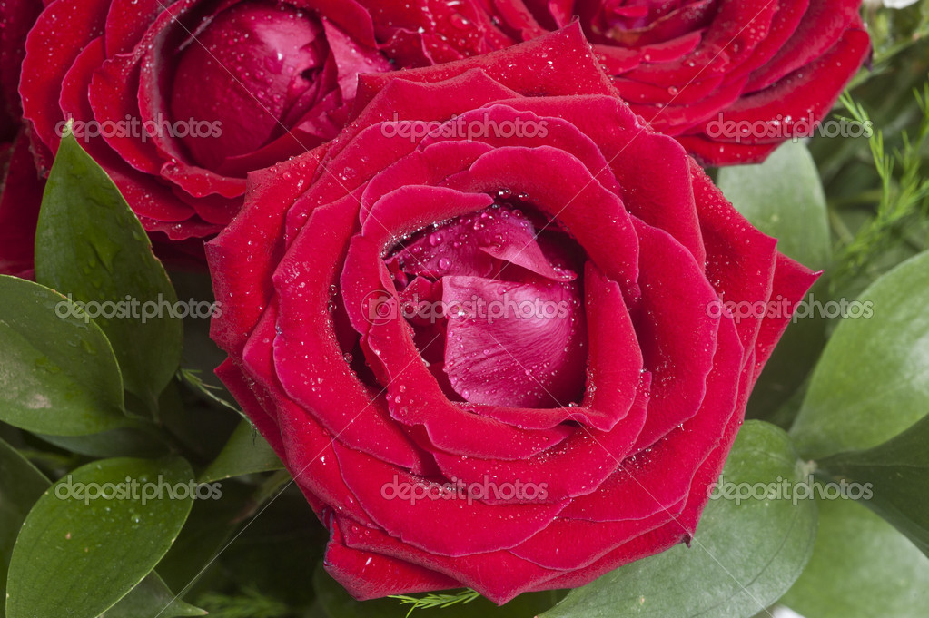 Red roses close up. Background