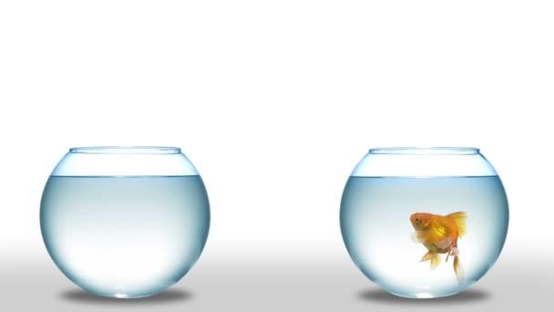 zlaté rybky, skákat z jedné misky do druhé