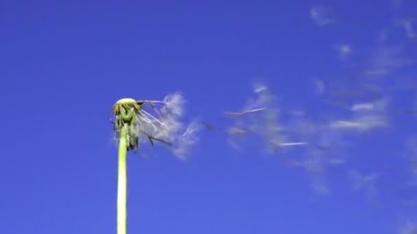 Pampeliška semena létání na obloze