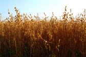 Photo oat field
