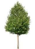 strom na bílém pozadí
