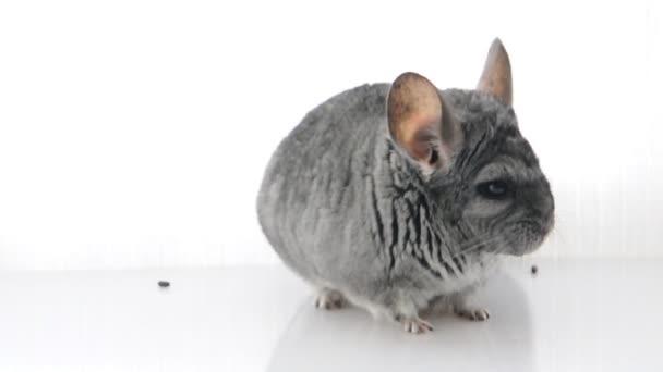 Grey chinchilla. isolated.