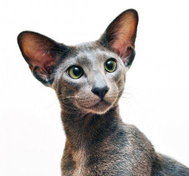 Oriental blue short hair cat