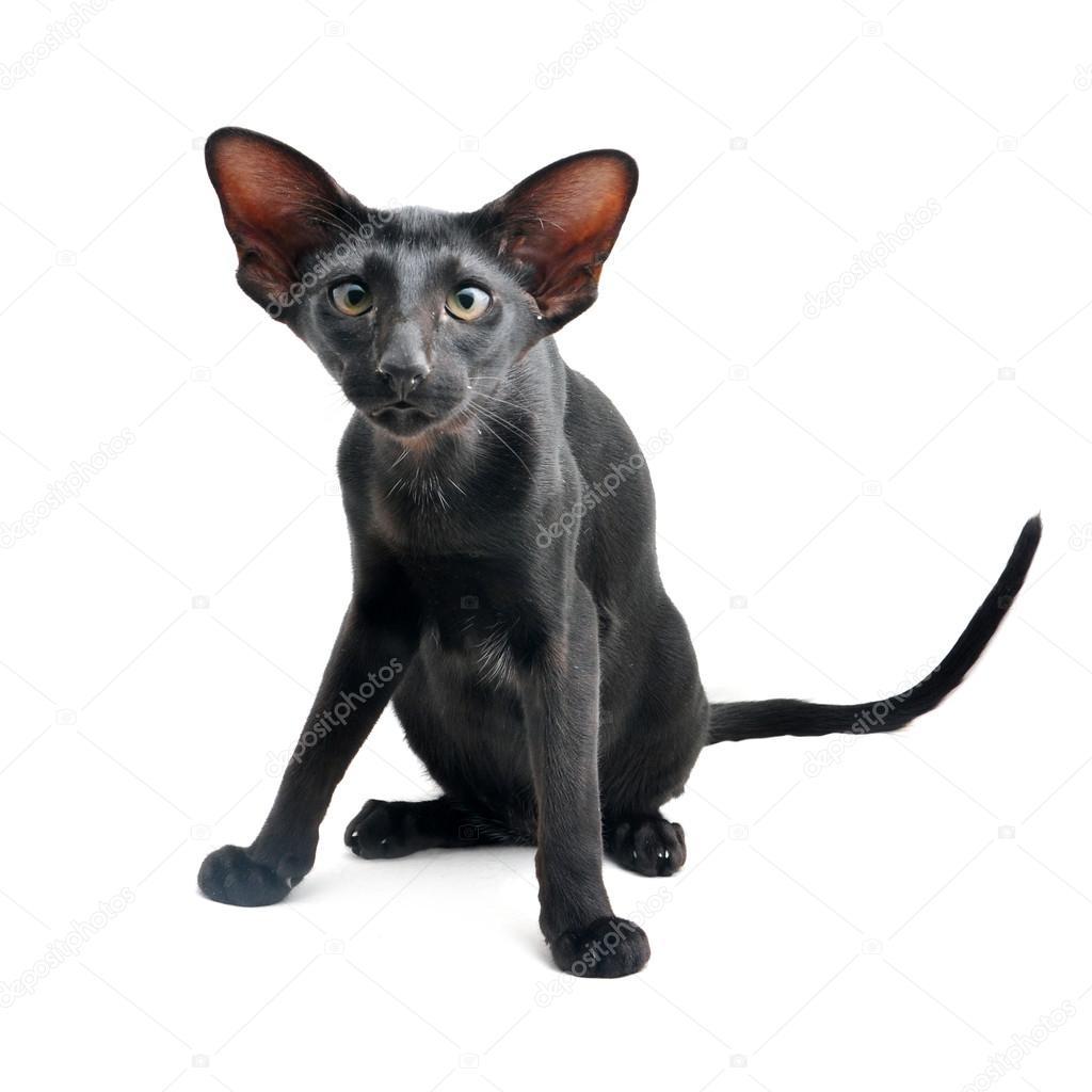 Czarny Kot Orientalny Zdjęcie Stockowe Fineshine 41352219