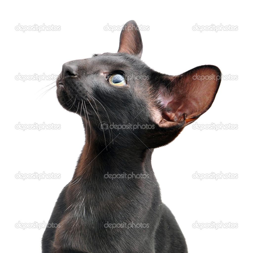 Czarny Kot Orientalny Zdjęcie Stockowe Fineshine 41352253