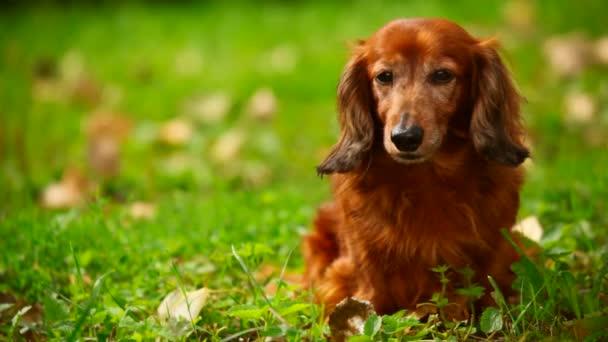 pes sedí na zelené trávě, přední
