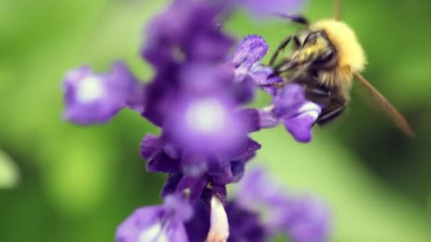 Close up bumblebee flying round violet flower and pollinating it