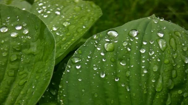 Rain drops on green foliage in summer park