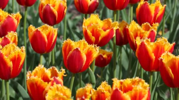 Flowerbed with orange and yellow tulips