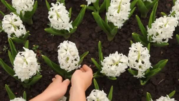 Ženské ruce jemně opravené listy květin, Hyacint