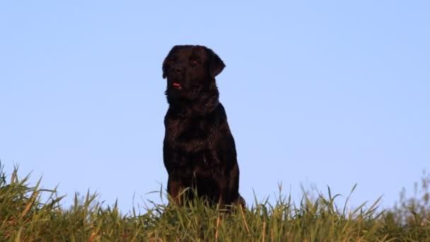 Labrador Vizsla kutya tenyészt ül a fűben