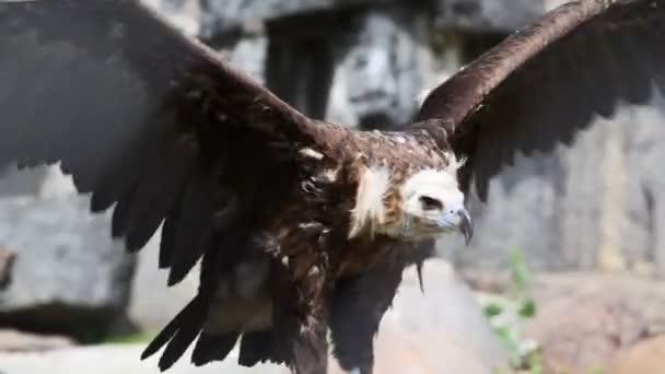 Adler in Käfig bei Zoo Wave seine Flügel und versuchen zu fliegen