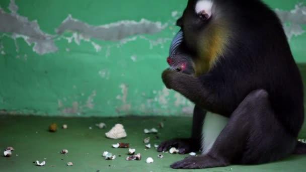 babian sitter framför väggen och äter i zoo