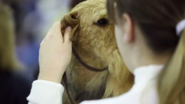 dívka masáže ucha svého psa plemene irský teriér