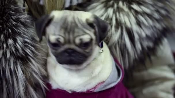 Kicsi kutya a mopszli tenyészt mozgatja a fejét, és nézzen körül