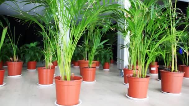 rostliny rodinné palmami v květináčích na podlaze v hale
