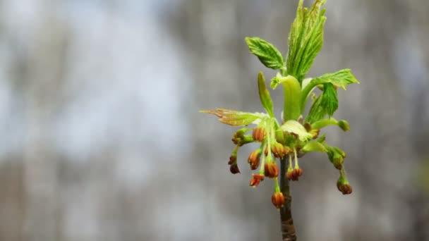 Virágzat virágos-tavaszi szélben hajladozó fa tetején