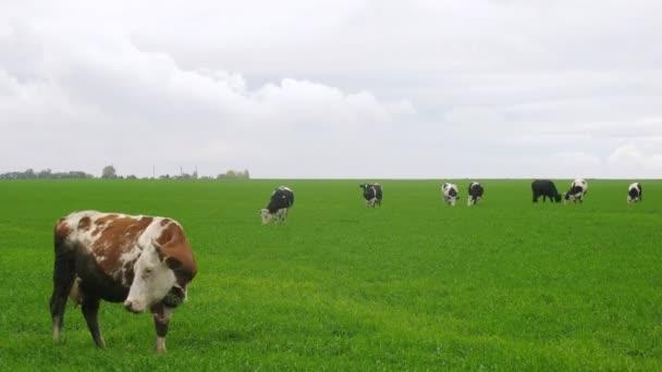 krávy chodí na louce a žerou trávu