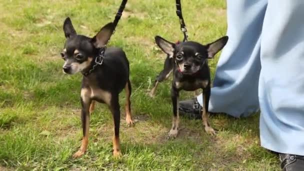 Zwei Hunde der Rasse Toy Terrier gehen auf Rasen mit grünem Gras