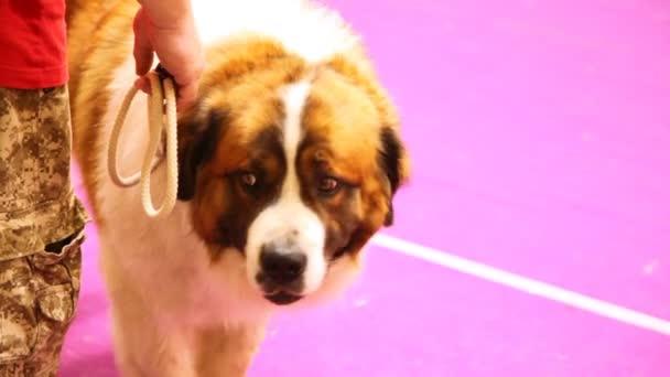 Hund der Rasse Moskauer Wachhund nimmt an einer Ausstellung teil