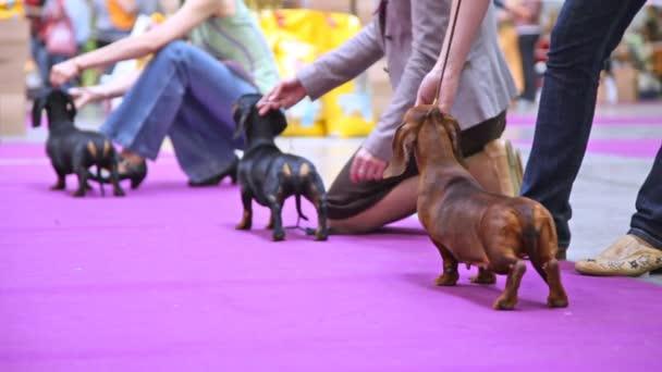 Kutyák a Badgerer részt vesz, együtt dogshow-tulajdonosok