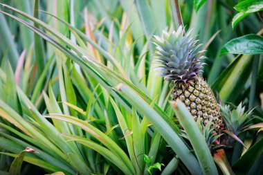 Pineapple growing