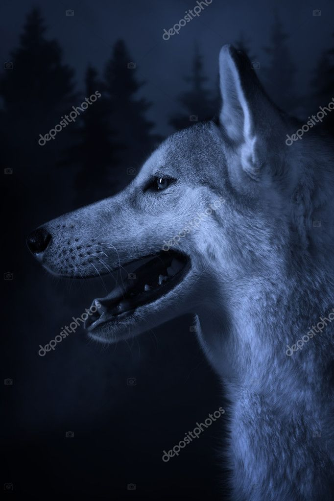 Grey wolf on a forest background