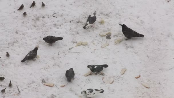 Pigeons, crow and sparrows feeding with bread