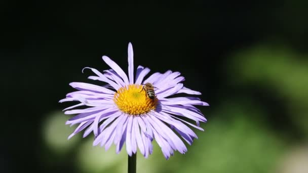 méh nektárt összegyűjtése a virág