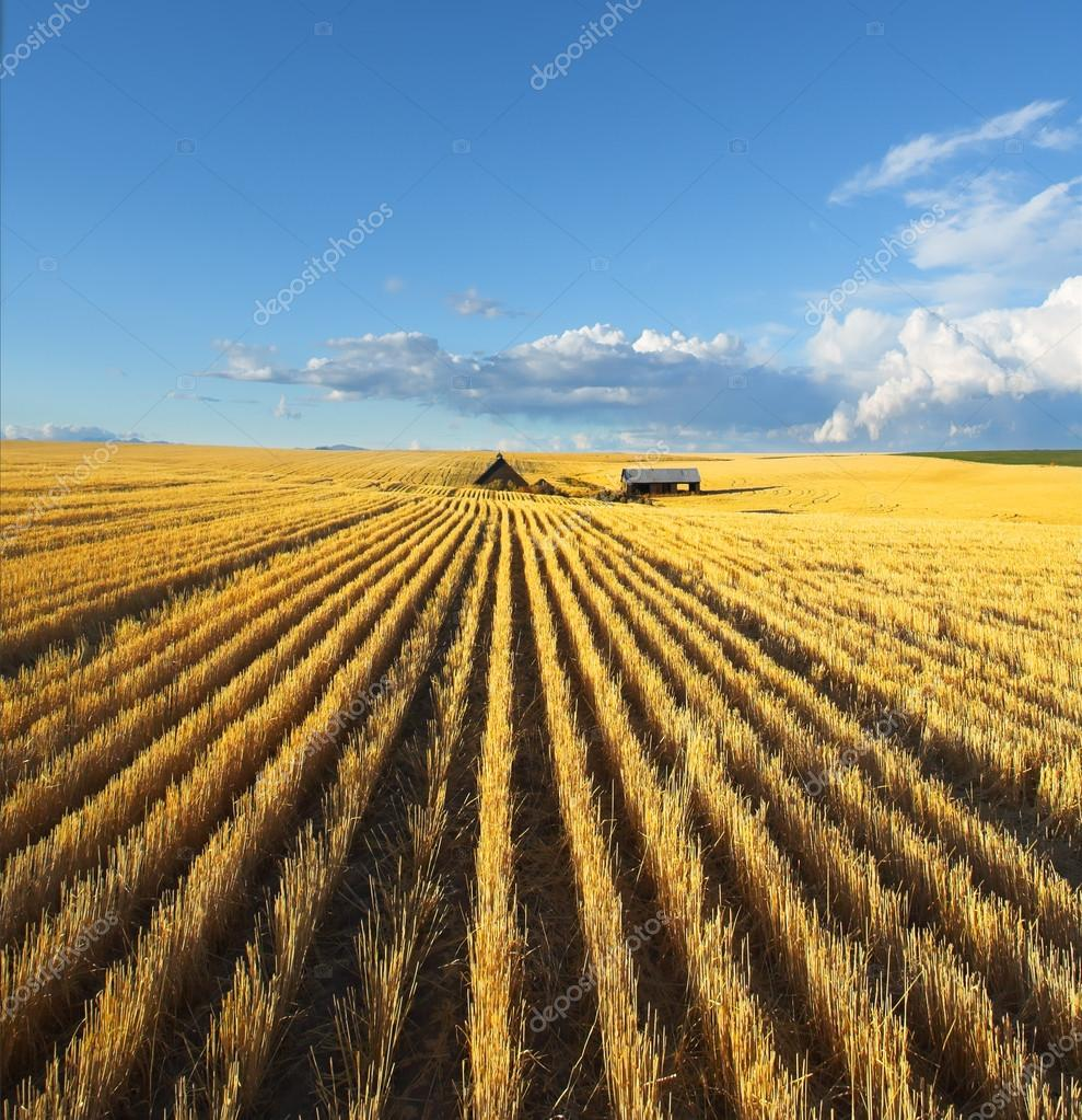 The fields of Montana