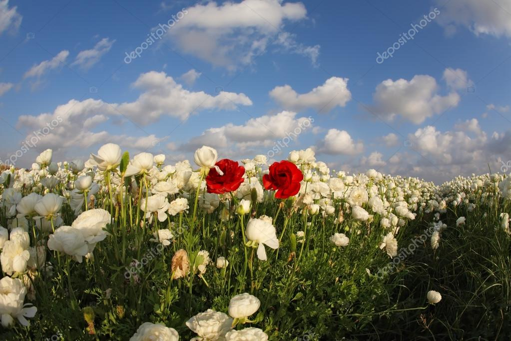 The spring field of blossoming white and red flowers photograph