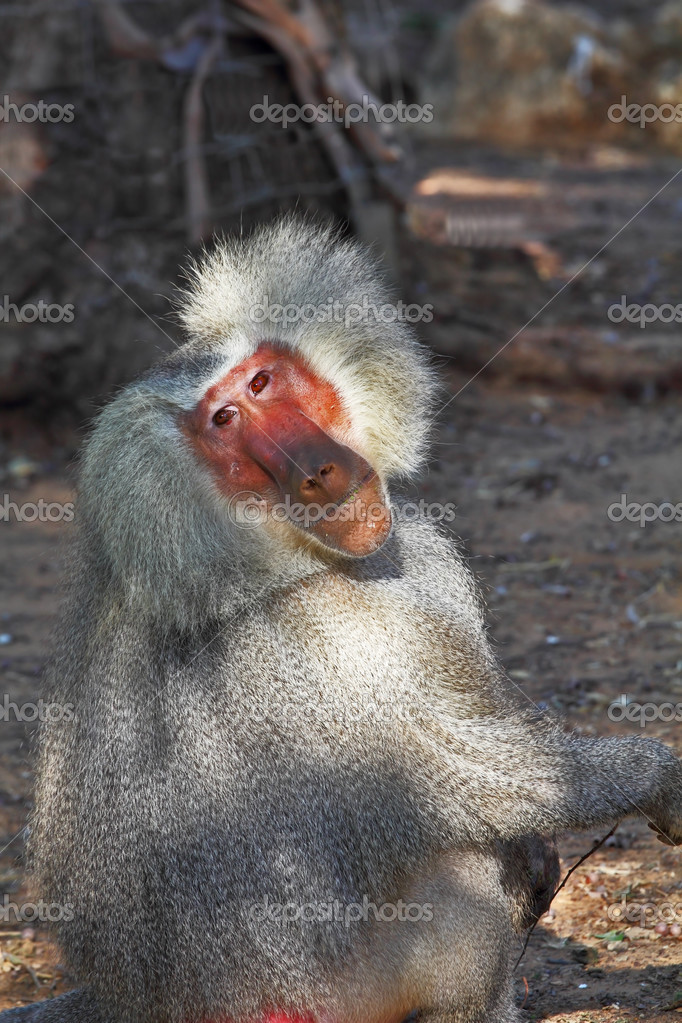 The silvery baboon poses for spectators