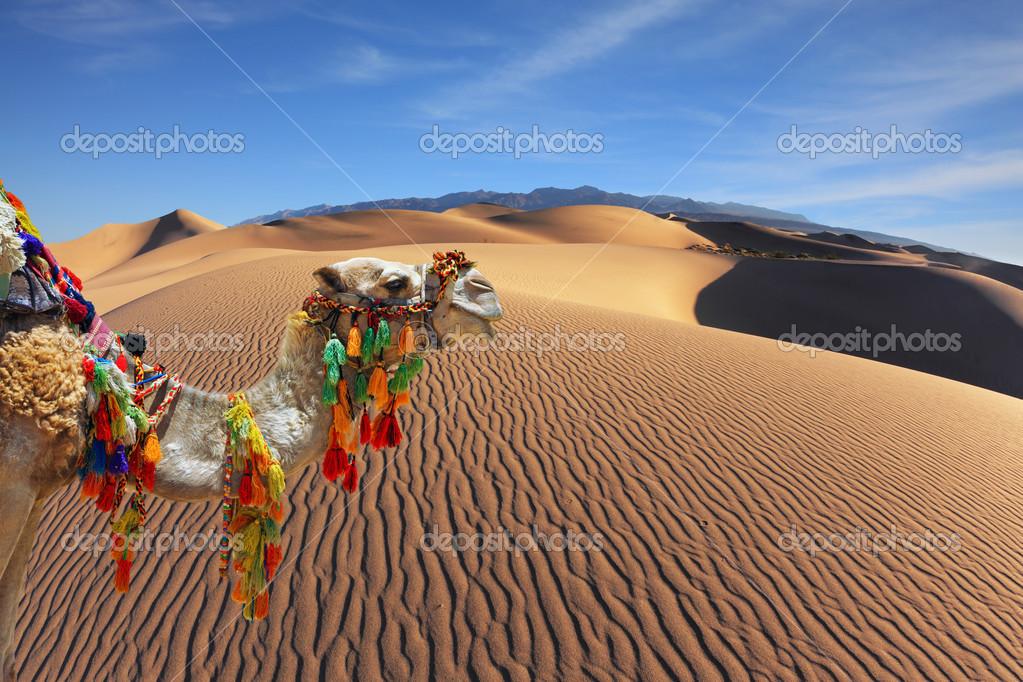 The magnificent Arabian camel