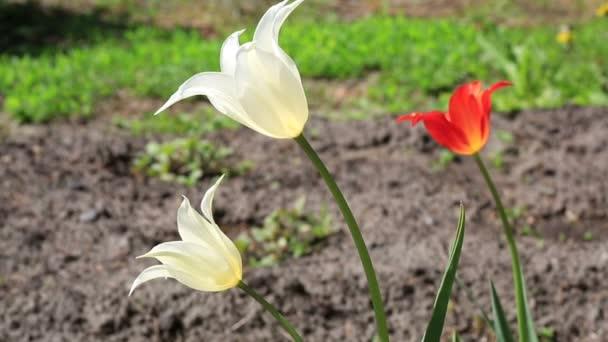 lily-květovaný tulipán.