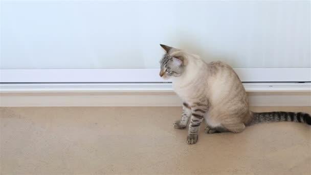 Thajská kočka kroutí hlavou (sleduje objekt).
