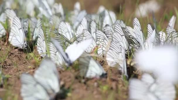 fekete erezett fehér pillangók (aporia Anisi) vizet inni.