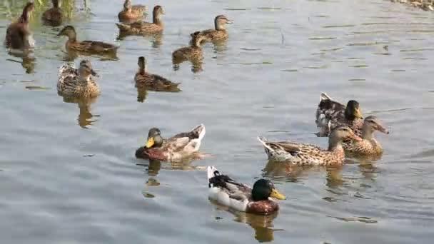domácí kachny koupat v rybníku.