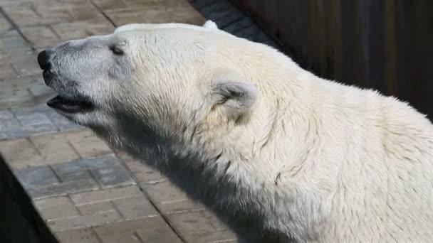 Polar bear close up.