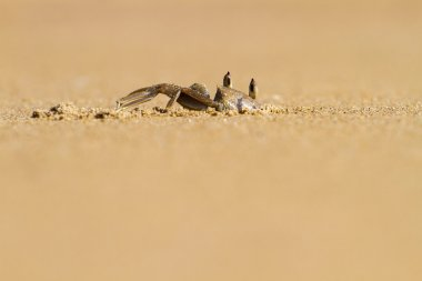 Ghost crab digging hole in the sand