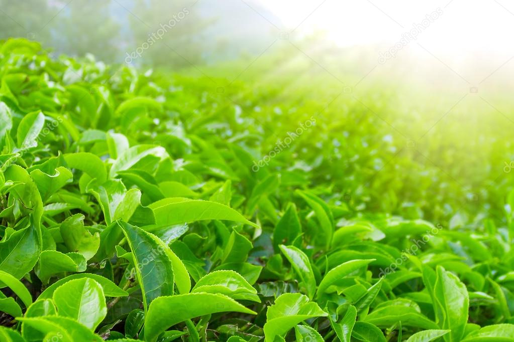 Fresh tea leaves closeup