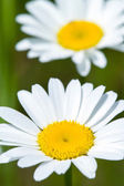 Fotografie Close up of chamomile flower