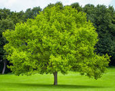 Single tree on a green grass lawn