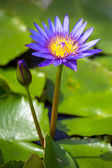 Fotografie schöne blaue ägyptische Seerose (Nymphaea Caerulea) closeup