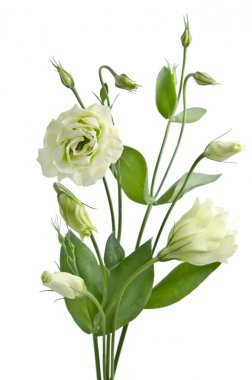 Eustoma flowers stock vector