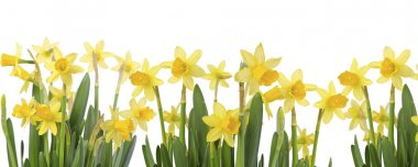 Yellow Flowers on white background close up. Daffodil flower or