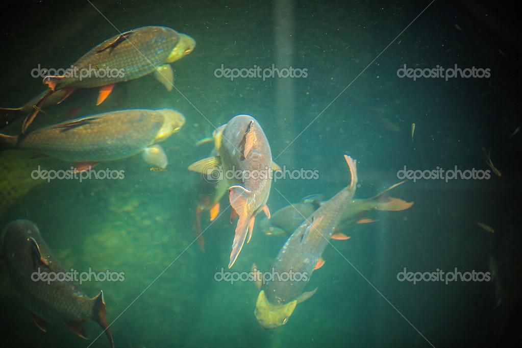 Vissen In Vijver : Vissen zwemmen op de vijver u2014 stockfoto © innervision #23730319