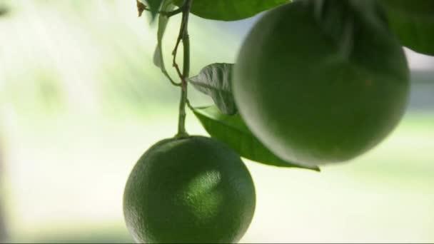 Fruit of citrus