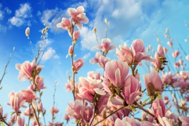 Pink magnolia flowers on blue sky background