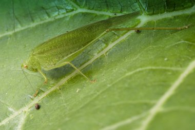 Grasshopper over a Leaf, Italy