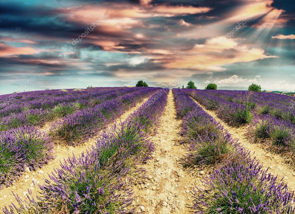 Lavender meadows in Provence